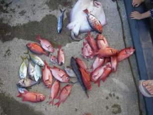 今日の西徳丸の漁獲はハタンポ、チビシマ、エソ、アカマツカサ、チビトビ
