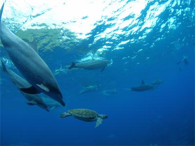 画題:夢のコラボ2009~イルカとカメ~ 撮影者:川上憲一さん